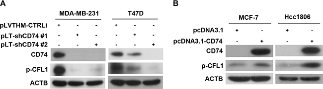 CD74 increased CFL1 phosphorylation in breast cancer cells.
