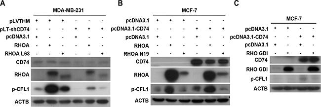 CD74 enhanced CFL1 phosphorylation through RHOA.