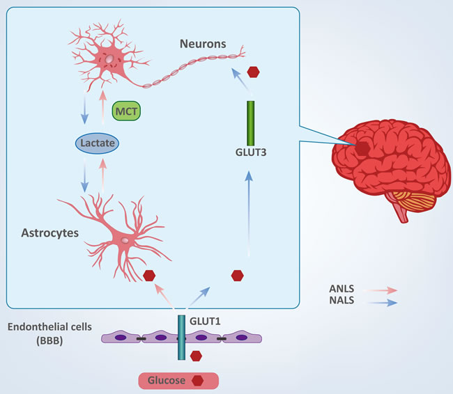 Cellular fate of glucose between neurons and astrocytes.