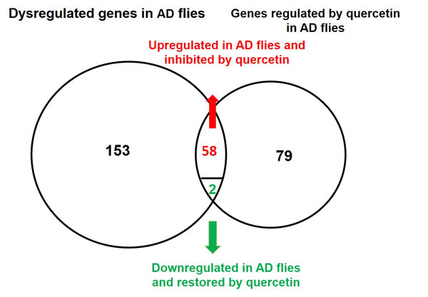 Venn diagram of genes dysregulated in AD flies and rescued by quercetin.