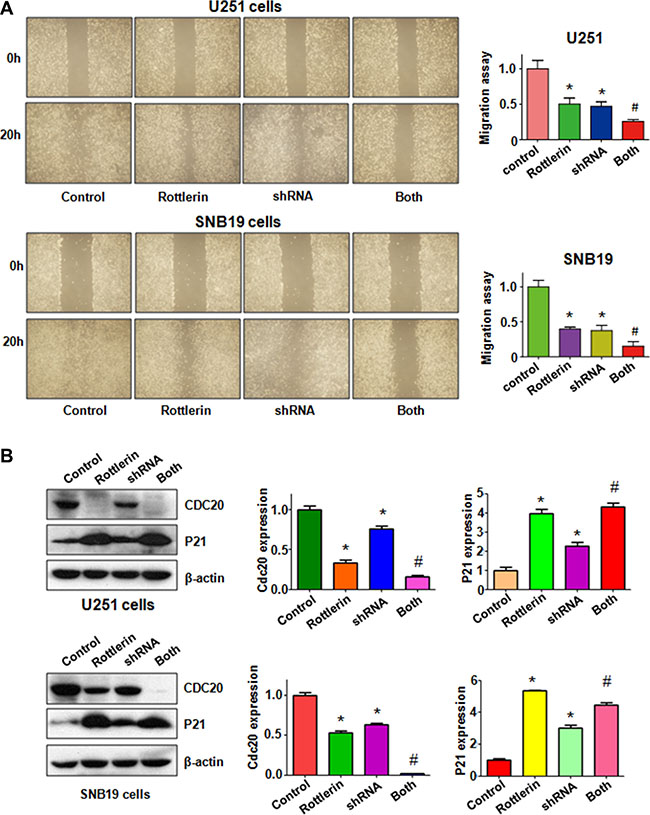 The effect of Cdc20 downregulation on cell migration in glioma cells.