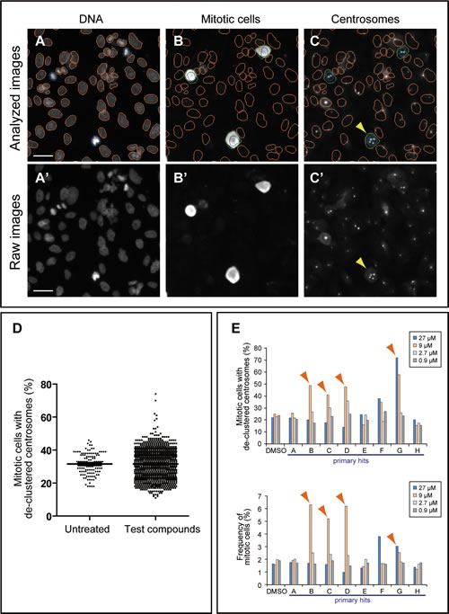 High-content screening strategy for the identification of candidate compounds that inhibit centrosome clustering.