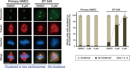 Effects of CCCI-01 on spindle polarity in BT-549 cancer cells and normal primary HMECs.