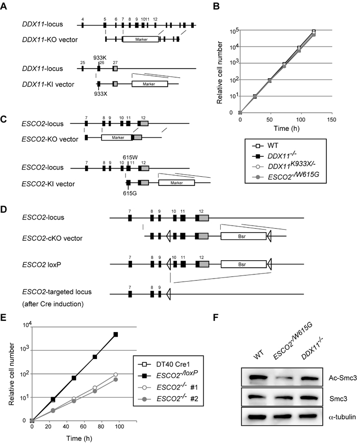 Establishment and general characterization of WABS- and RBS-model DT40 lines.