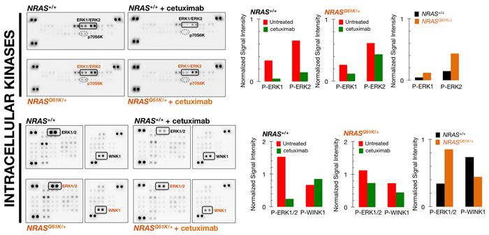 ERK1/2 activation is unresponsive to cetuximab resistance in