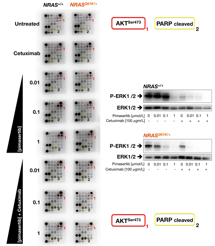 Cetuximab prevents AKT activation and promotes PARP cleavage in pimasertib-treated