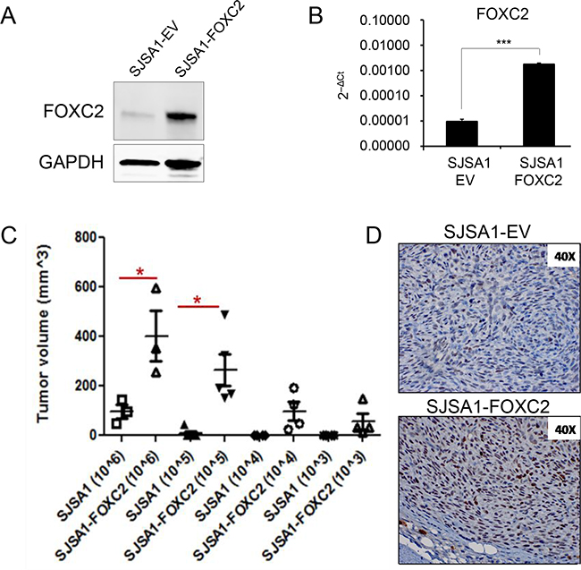 Ectopic FOXC2 enhances in vivo tumor-propagating ability in osteosarcoma cells.