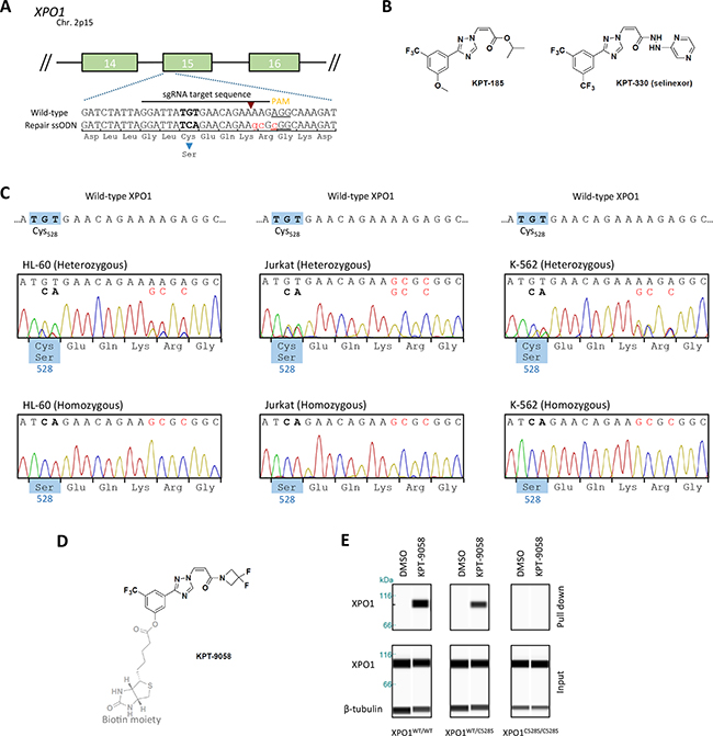 Generation of heterozygous and homozygous XPO1C528S cell lines