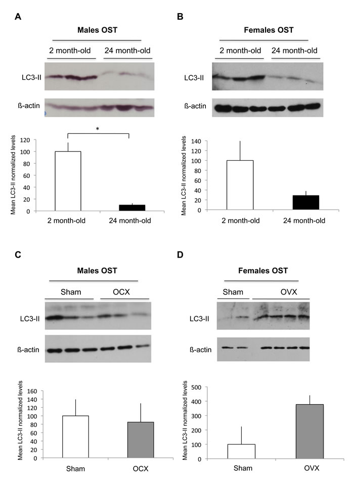 Effect of aging and gonadectomy on autophagosome number in OST.