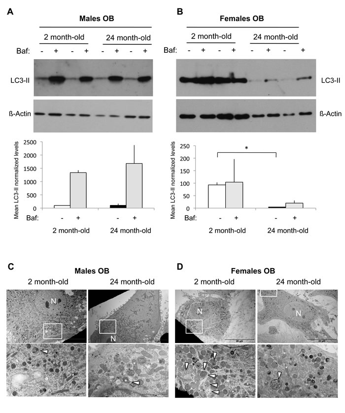 Autophagic activity in OB from young and old male and female mice.