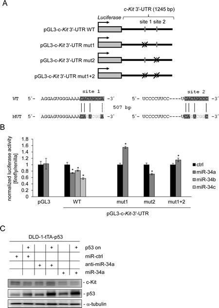 miR-34a directly targets c-Kit and mediates c-Kit repression by p53.