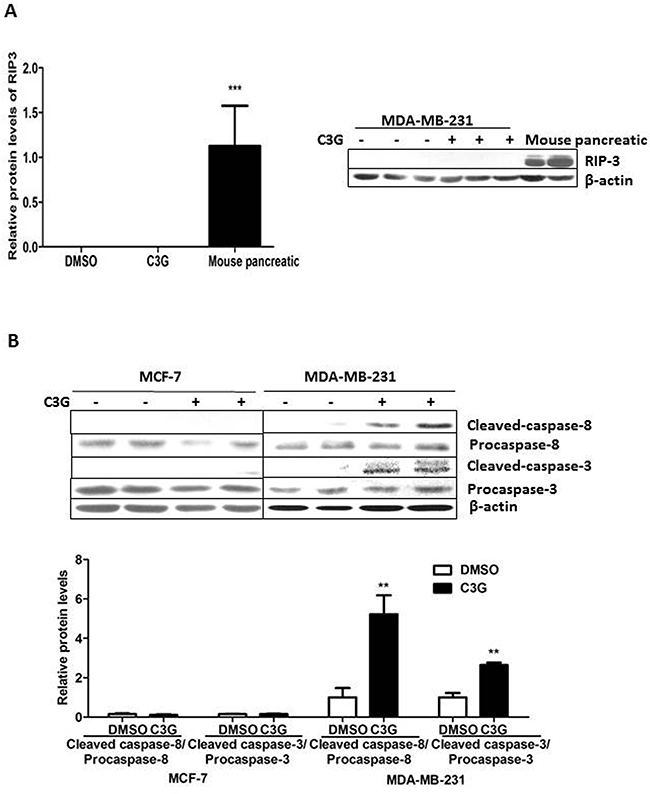 Cy-3-glu induces TNBC MDA-MB-231 cell death by the extrinsic apoptosis pathway, not necroptosis or by the intrinsic pathway.