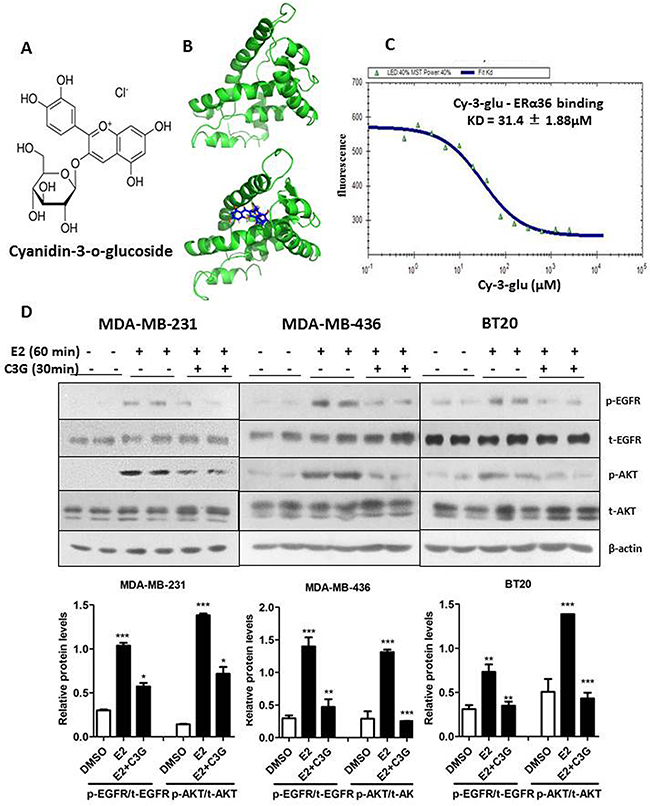 Cy-3-glu binds to LBD of ERα36 directly and inhibits its signaling pathway in TNBC cells.