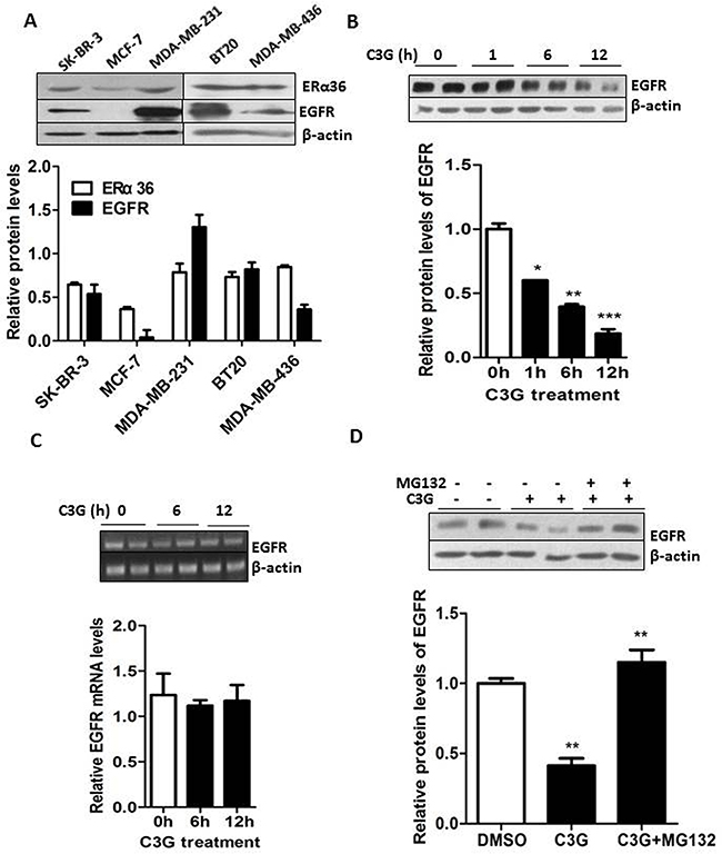 Binding of Cy-3-glu to the LBD of ERα36 leads to degradation of EGFR through the proteasome system in MDA-MB-231 TNBC cells.