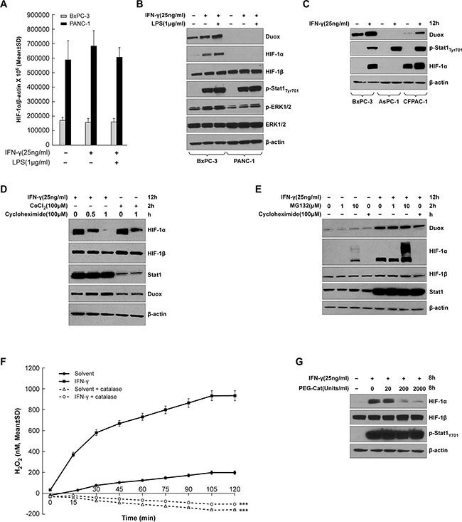 HIF-1α synthesis is up-regulated in IFN-γ-stimulated pancreatic cancer cell lines that exhibit increased DUOX2 expression following cytokine treatment.