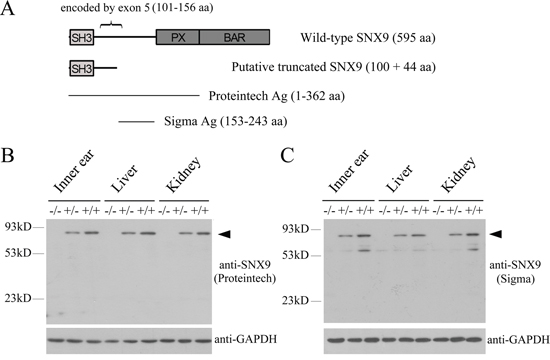Analysis of Snx9 knockout mice at protein level.