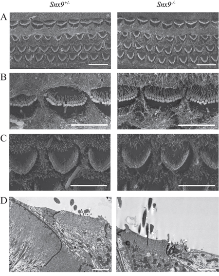 Auditory hair cell stereocilia are morphologically normal in Snx9 knockout mice.