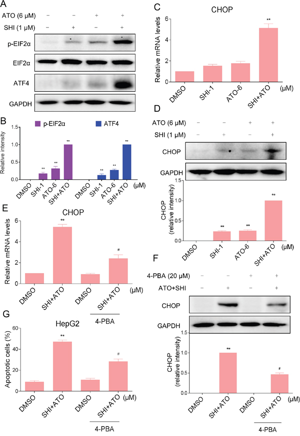 ER stress was involved in the SHI and ATO combined treatment-induced apoptosis in vitro.