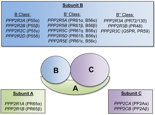 Protein phosphatase 2A subunits and respective encoding genes.