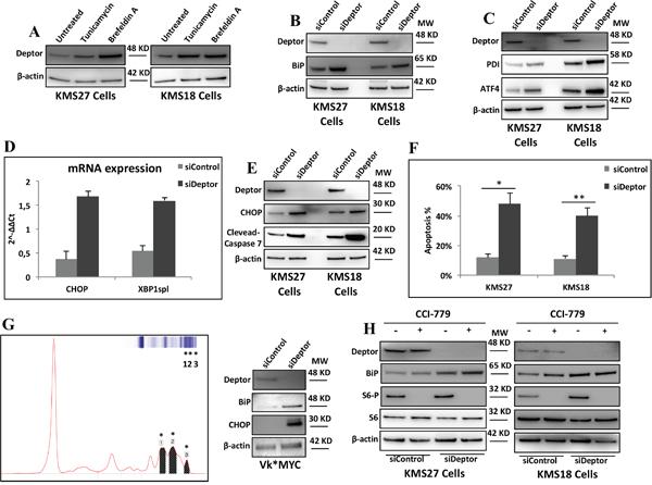 Deptor depletion enhances ER stress in MM cells.