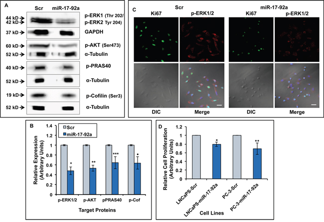Expression of miR-17-92a miRNAs reduced activation of MAPK and AKT pathways and decreased cell proliferation.