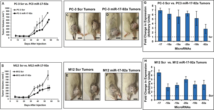 Expression of miR-17-92a cluster miRNAs reduced tumor growth in xenograft models.