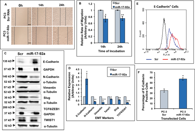 Expression of miR-17-92a cluster miRNAs inhibited migration and promoted an epithelial phenotype in prostate cancer cells.