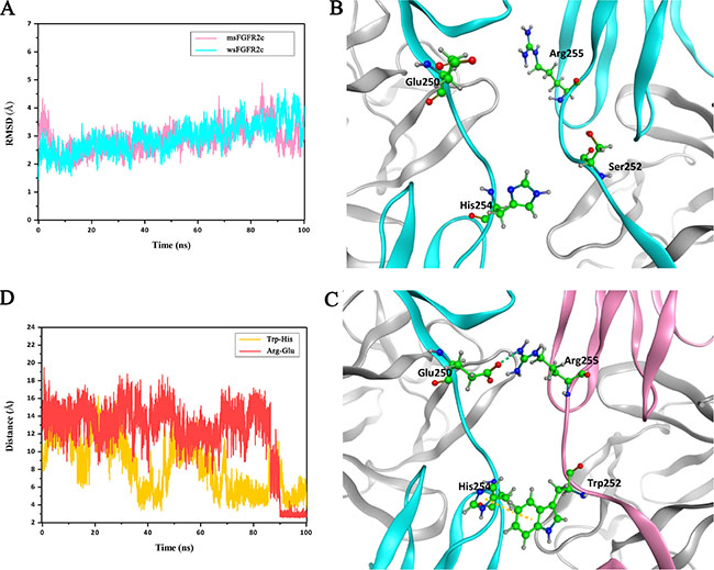 MD simulations of interactions between msFGFR2c and wsFGFR2c.