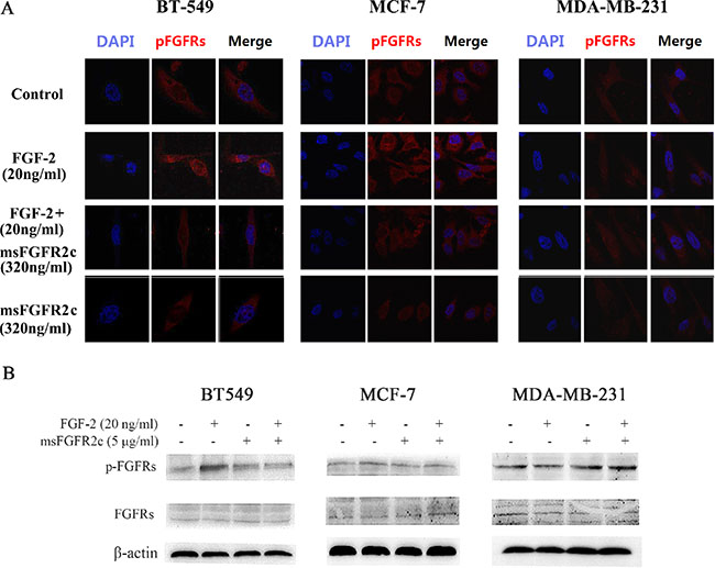 Effects of msFGFR2c on FGF-2-induced FGFR phosphorylation in BT-549, MCF-7, and MDA-MB-231 cells.