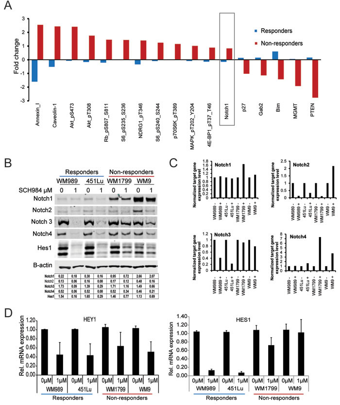 PI3K and Notch signaling are enhanced in SCH984 non-responders.
