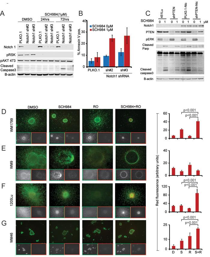 Notch inhibition enhances the effect of SCH984.