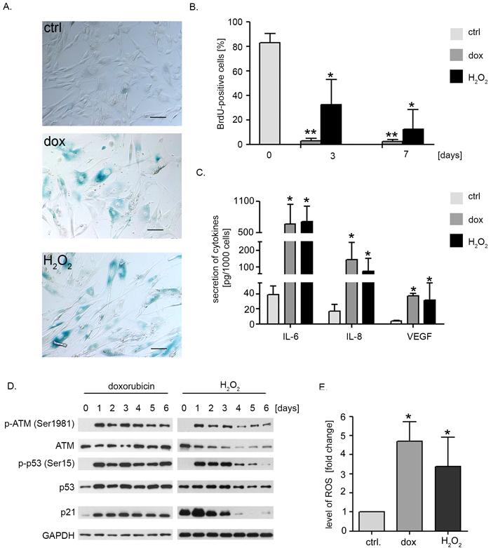Doxorubicin or hydrogen peroxide treatment induce senescence of hVSMCs.