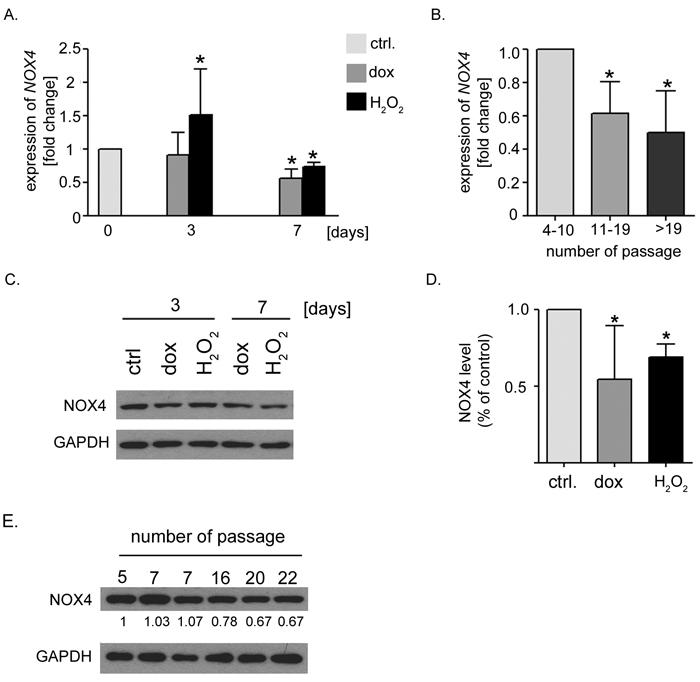 Decreased expression of NOX4 in hVSMCs undergoing senescence.
