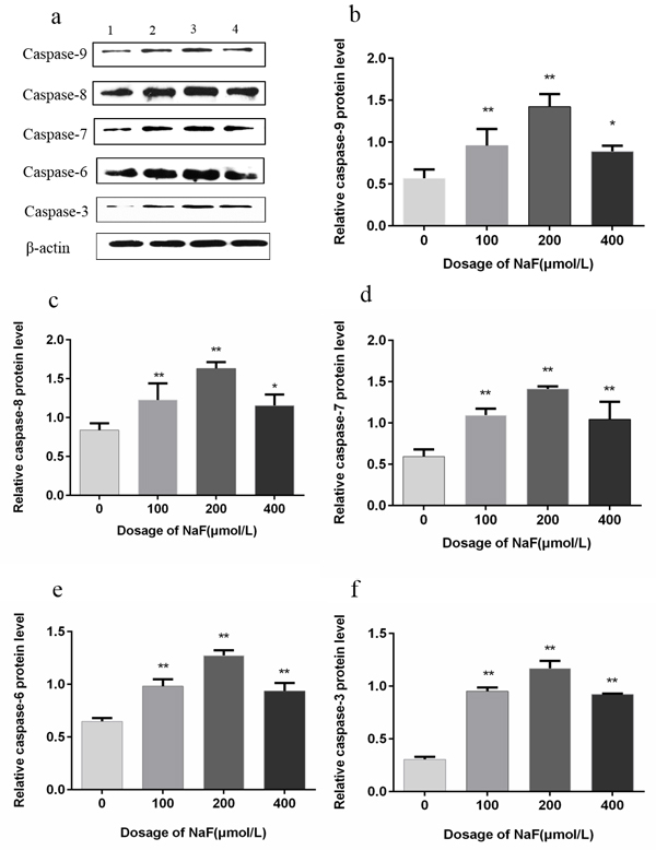 Effect of NaF treatment on protein expression levels of caspase-9, -8, -7, -6 and -3 in cultured splenic lymphocytes at 48 h.