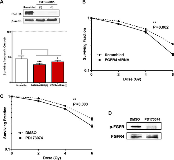 Silencing of FGFR4 induced loss of survival in radioresistant HT29 cells.