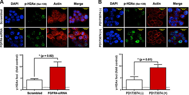 FGFR4 silencing-induced damage persistence in HT29 cells.