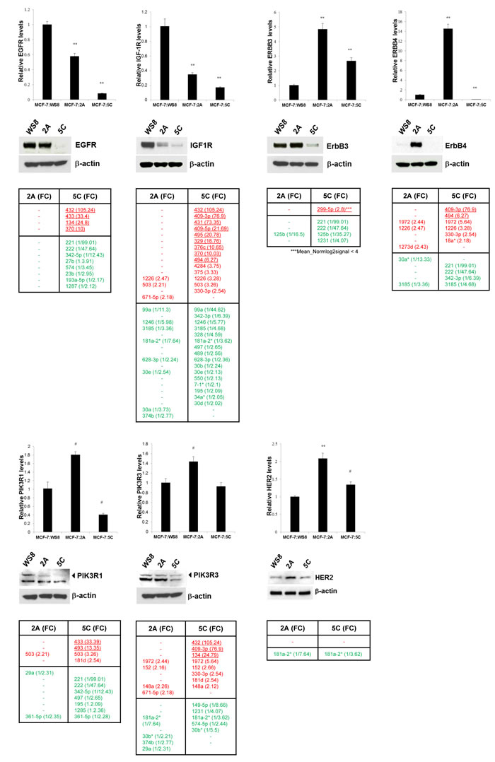 Basal levels of gene and protein expression of key growth regulators in AI resistance models 2A and 5C and their modulatory miRNAs.