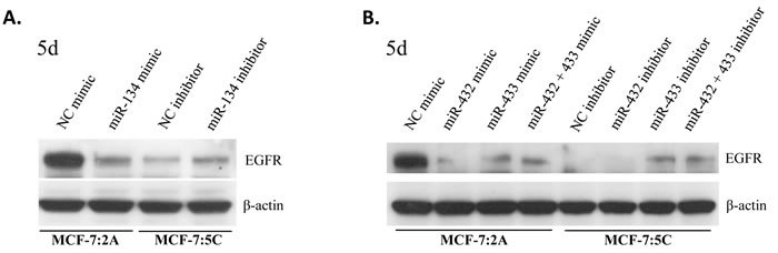 miRNAs of the DLK1-DIO3 cluster downregulate EGFR protein levels in MCF-7:2A (mimics) and upregulate EGFR protein levels in MCF-7:5C (inhibition).
