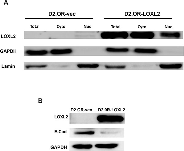 Characterization of D2.0R-LOXL2 cells for LOXL2 sub-cellular localization and E-Cad expression.