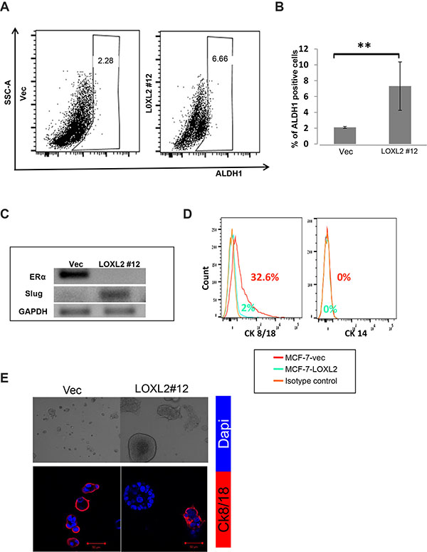 MCF-7-LOXL2 cells with EMT characteristics acquire a CSC-like phenotype.
