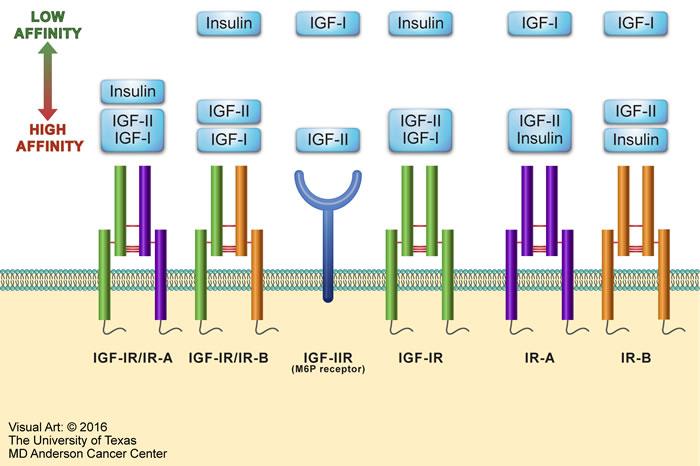 Oncotarget | Type I insulin-like growth factor receptor