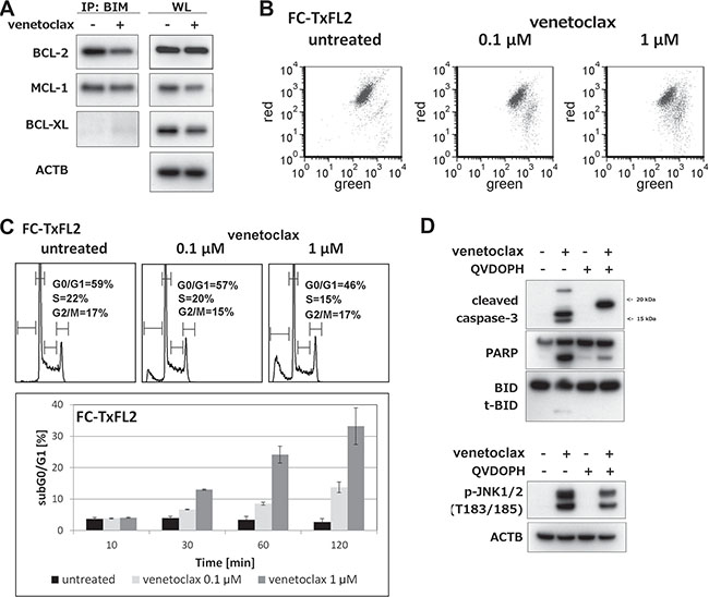 Cellular events proceeding and accompanying venetoclax induced apoptosis in FC-TxFL2 cell line.