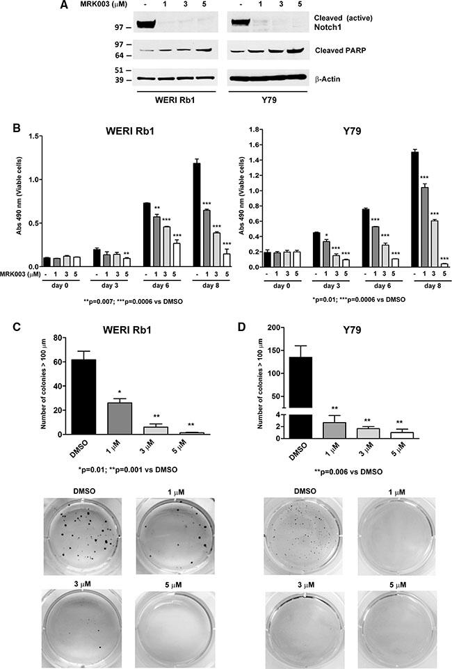 Pharmacological Notch blockade inhibits growth and clonogenicity in retinoblastoma lines.