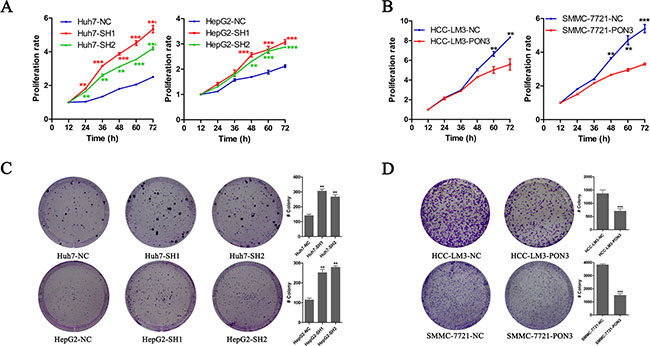 PON3 inhibits cell proliferation and clonogenicity in HCC cells.