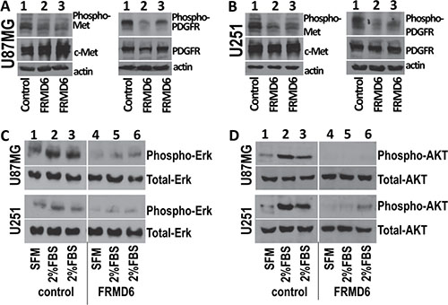 Increased expression of FRMD6 inhibits activities of c-Met and PDGFR RTKs and Erk and AKT kinases.