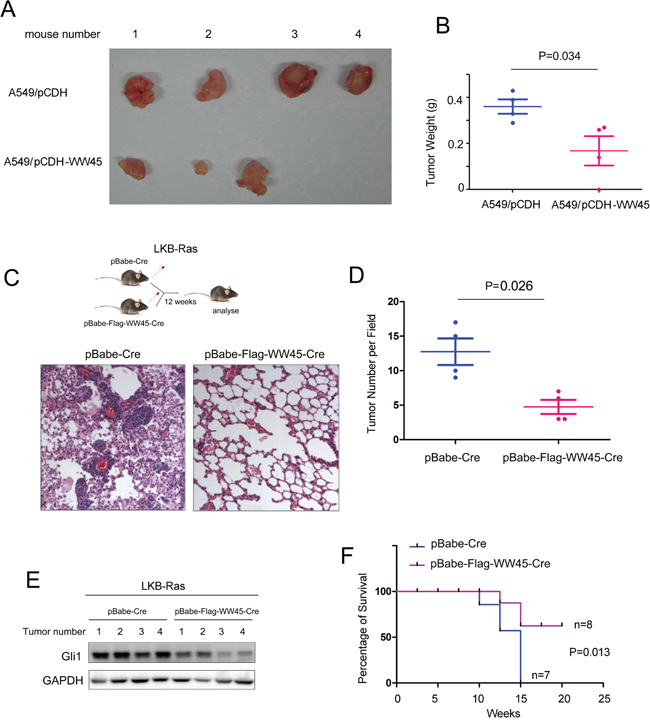 WW45 impaired the tumorigenesis of lung cancer through negatively regulating Hedgehog/Gli1 signaling.