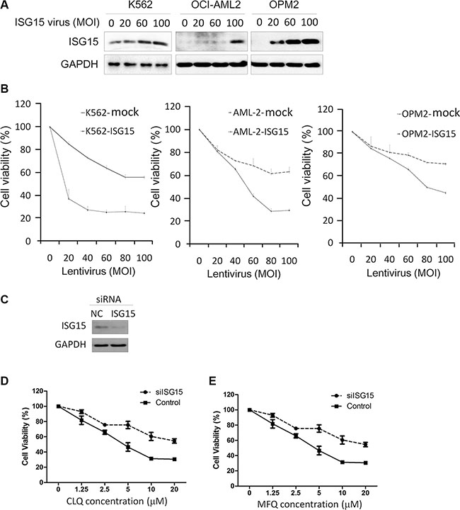 ISG15 suppresses cancer cell proliferation.