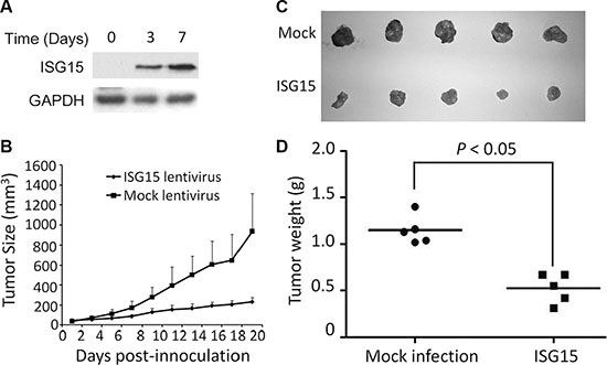 ISG15 suppresses cervical cancer growth in vivo.