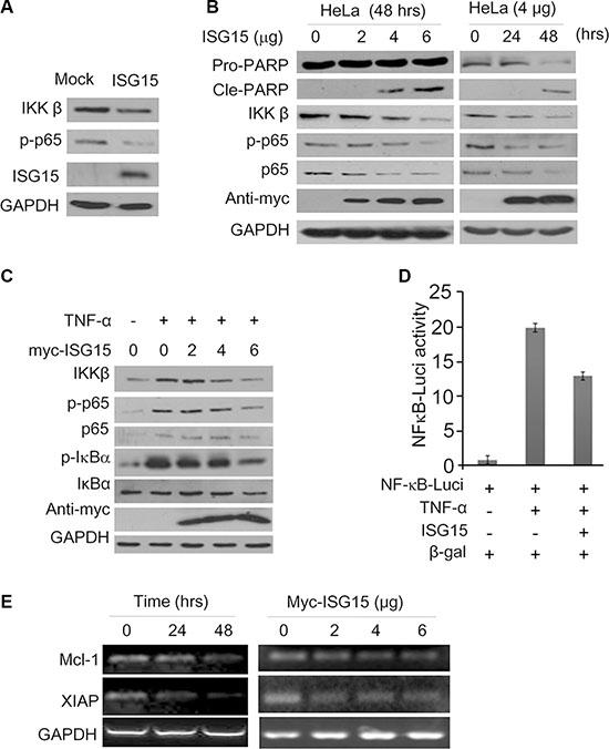 ISG15 inhibits the NF-κB signaling transduction.