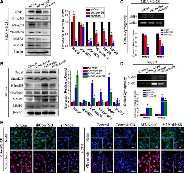 Nodal signaling via the Smad2/3 pathway up-regulated VM-associated protein expression.